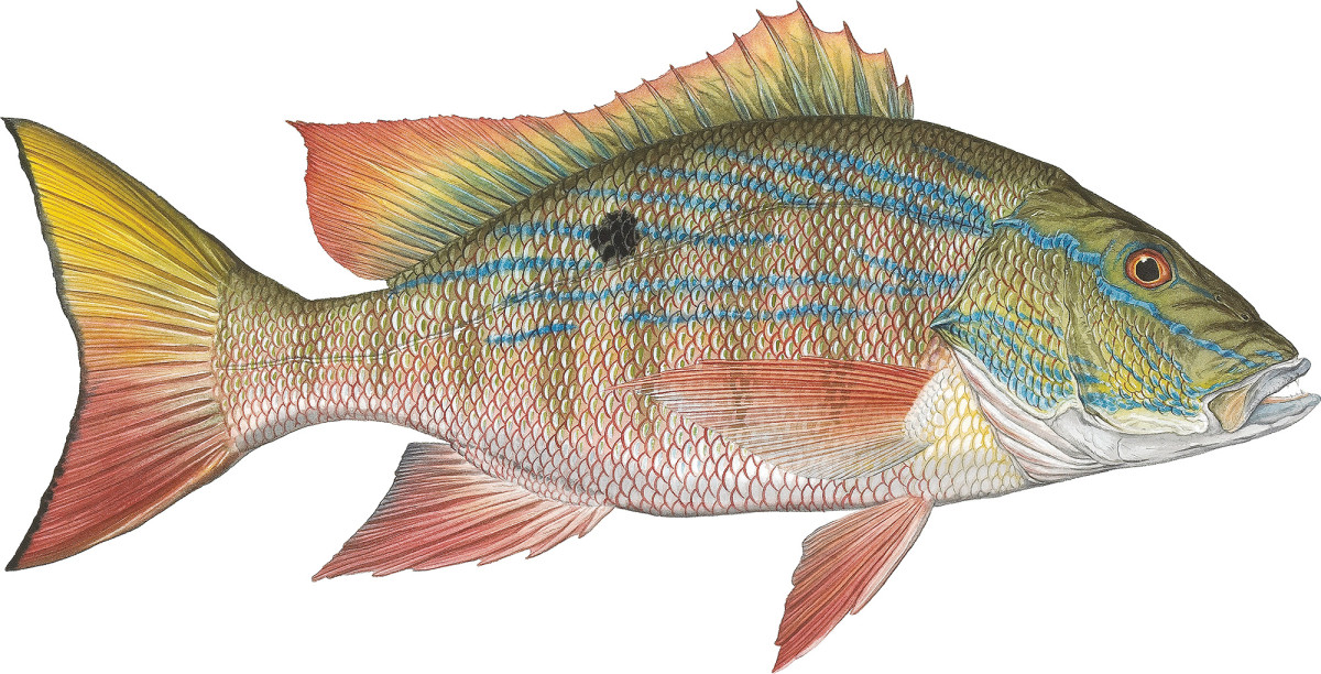 MuttonSnapper