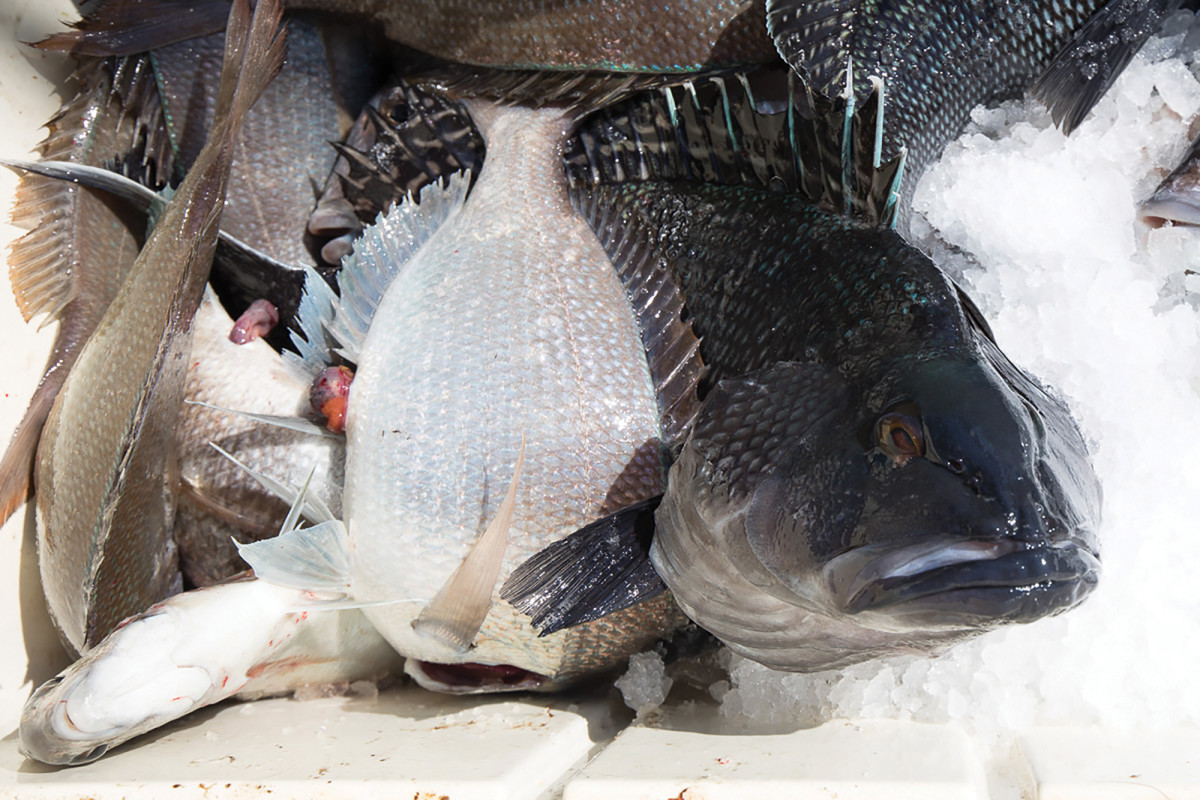 A black sea bass and a mess of big porgies are headed for the fillet table.