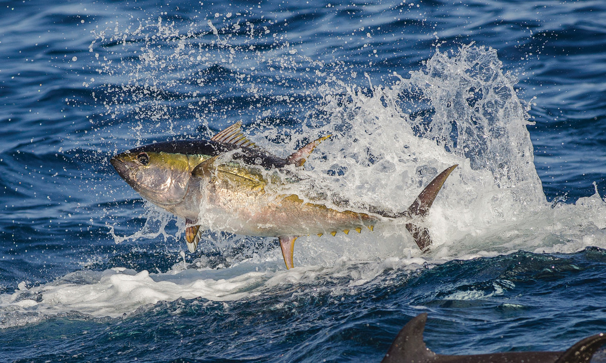 The adrenaline surges when tuna the size of jumbo coolers vault from the water.