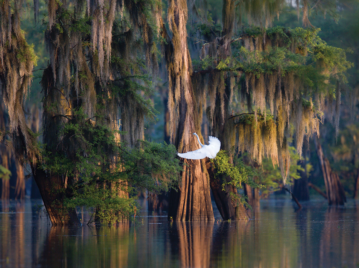 A great egret is at home in Atchafalaya Basin.