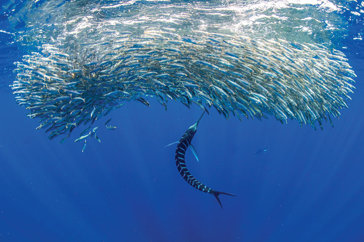 A swirl of Pacific sardines pushes against the surface as a striped marlin moves in.