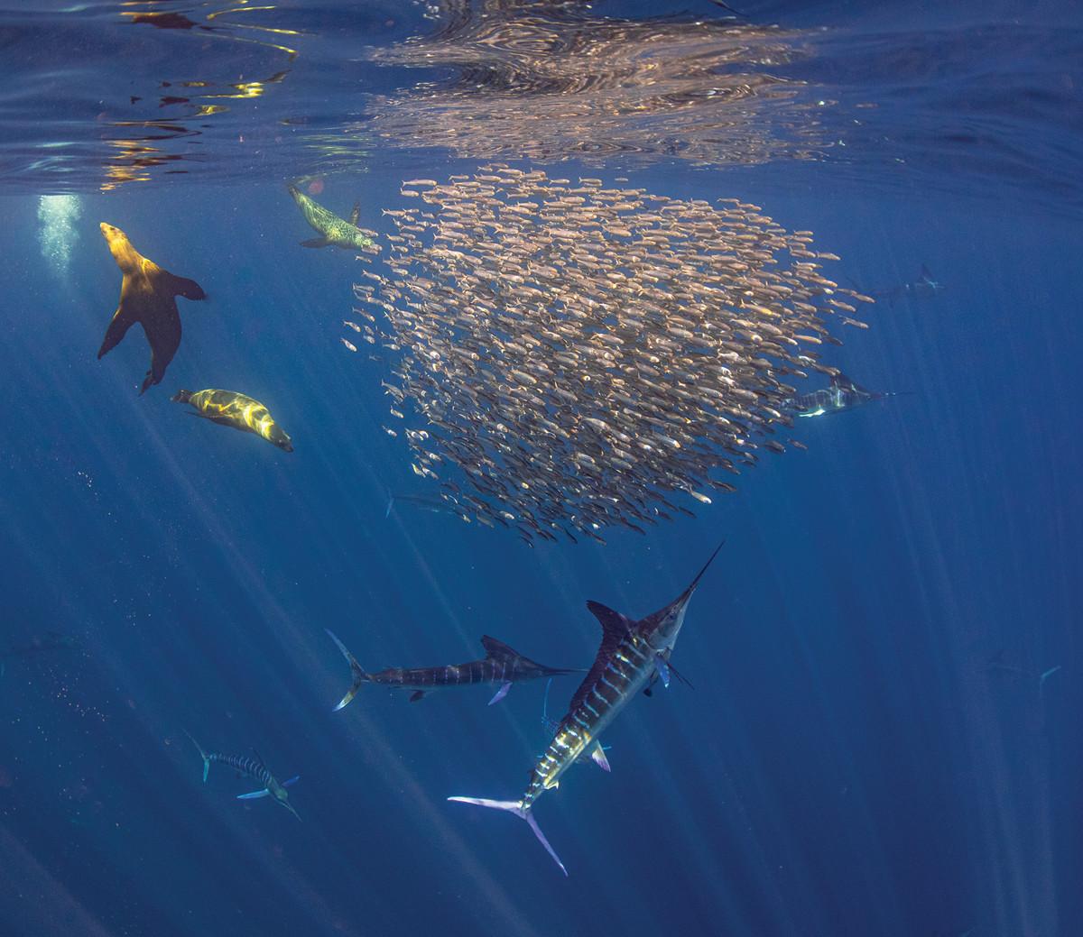 A host of predators bombards a school of sardines.