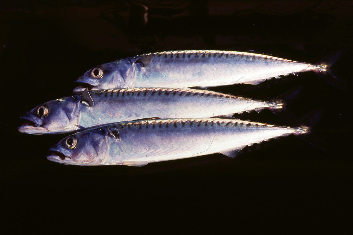 Scomber scombrus, the Atlantic mackerel.