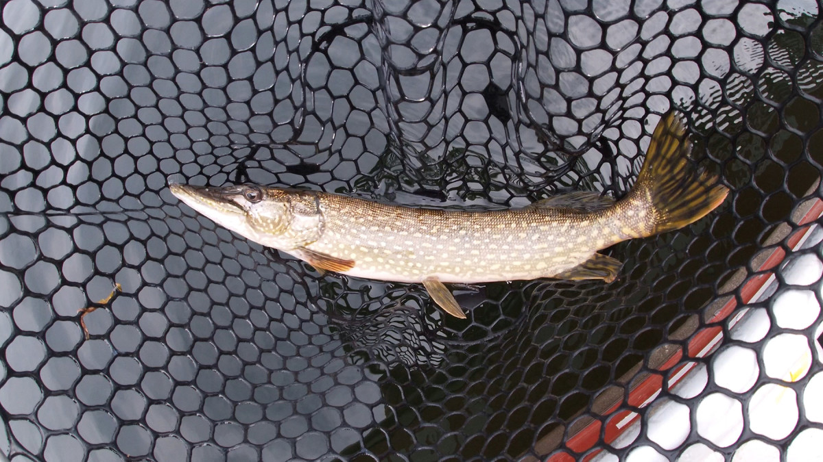 I feisty young pike caught from Newboro Lake.