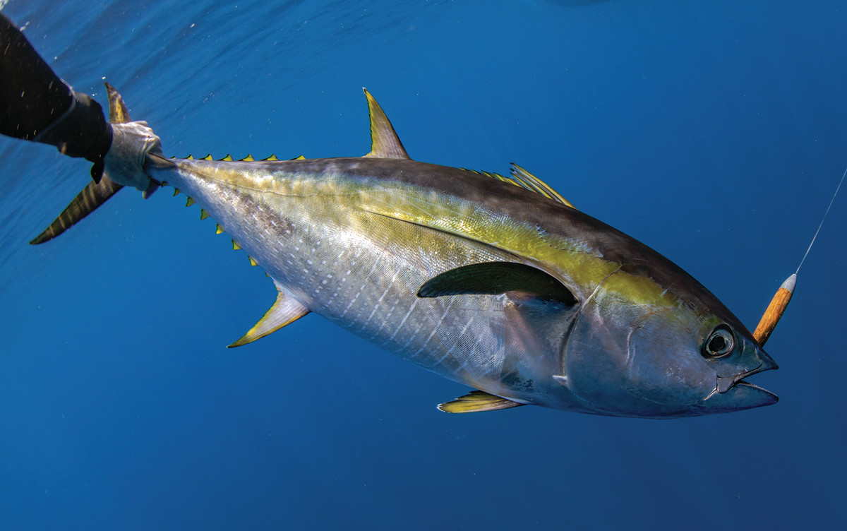 When a cedar is left au naturel, its color resembles a squid, which tuna can't resist.