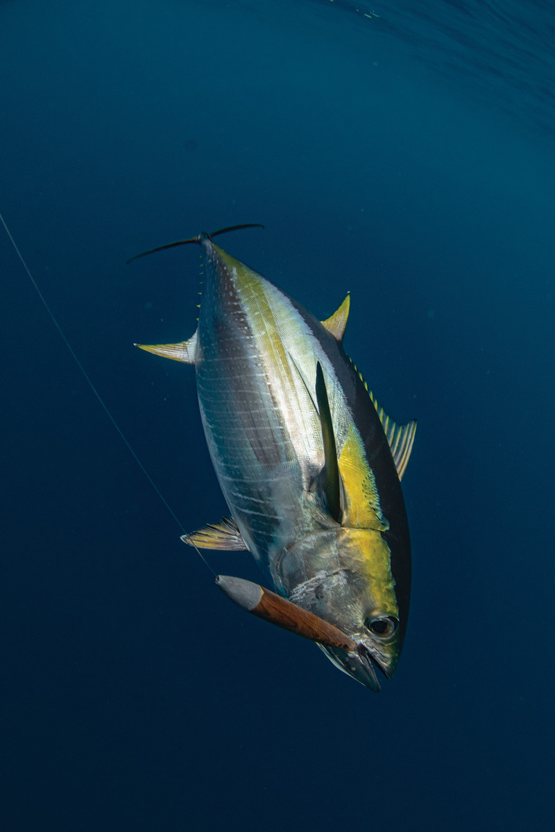 Tuna are fools for the simple cedar plug.