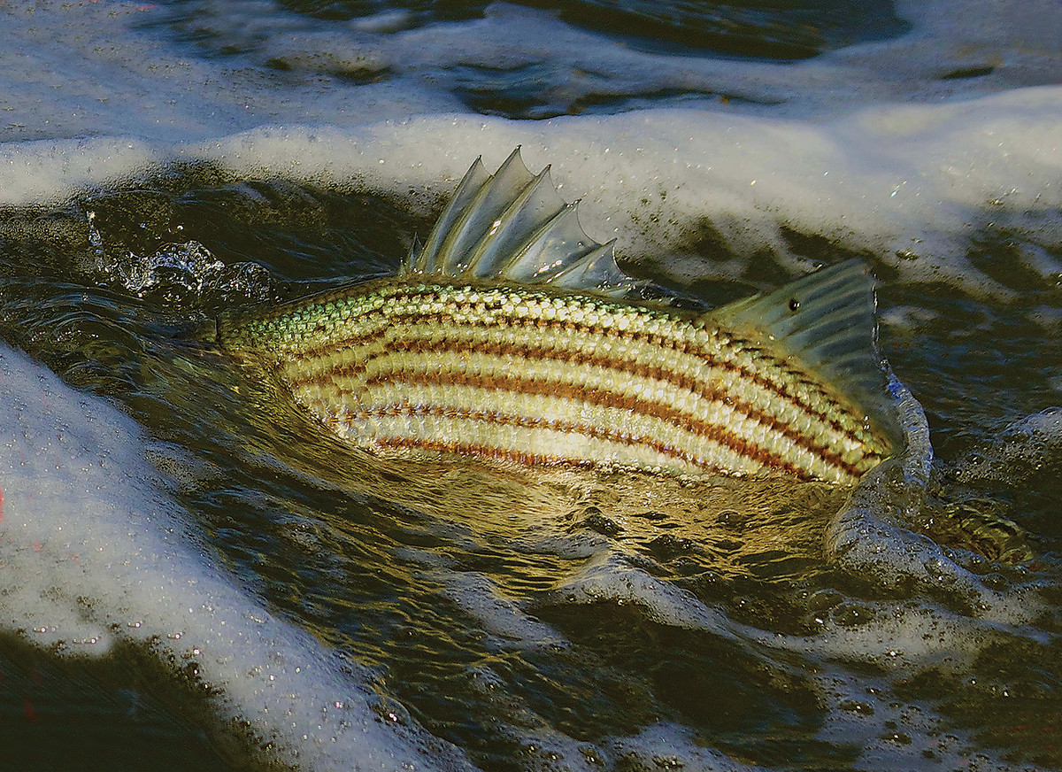 ADO STRIPER SURFACE 18x14 300dpi IMG_1846_2 copy