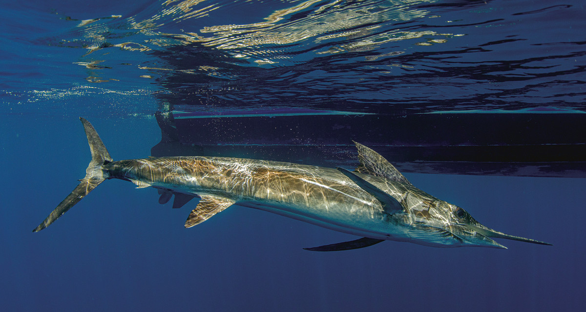 All of the marlin hooked were in the 150- to 200-pound class.
