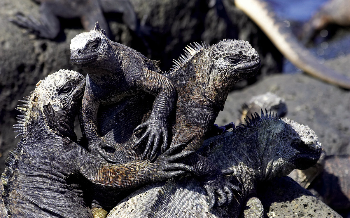 The Galápagos are home to a variety of sea life, from striped marlin to marine iguanas and sea lions.