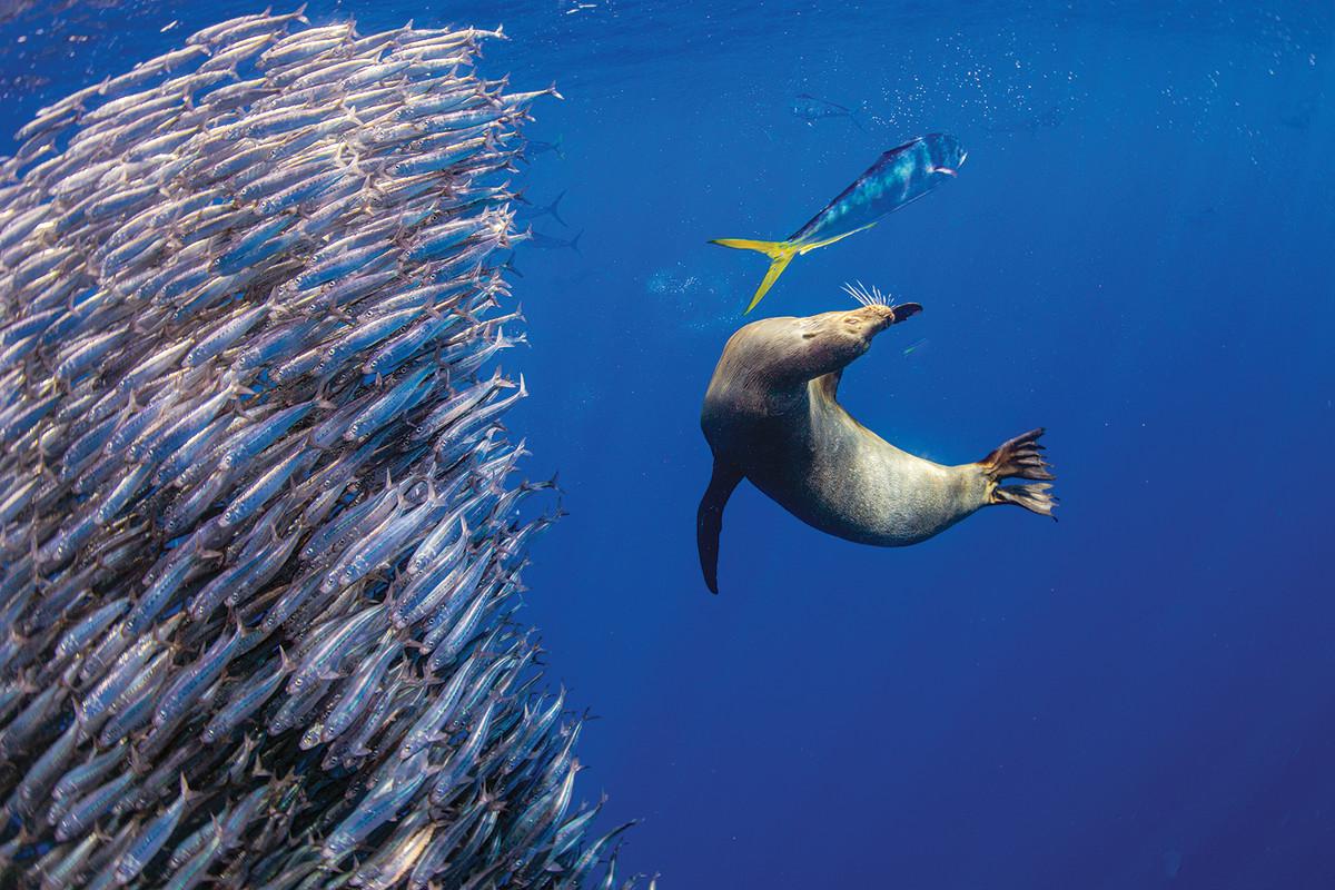 A mahi-mahi and a Galápagos sea lion take swipes at a school of sardines.