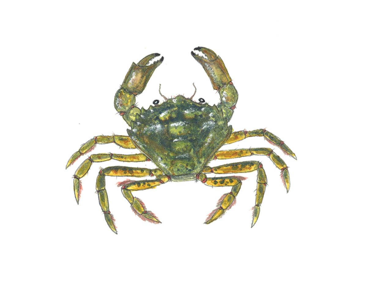 Green crabs are a tog delicacy.