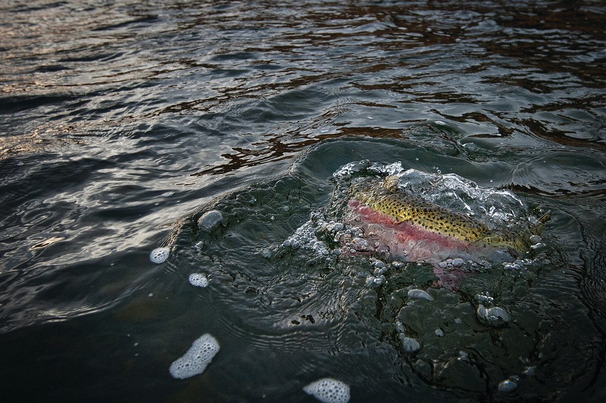 A nice steelhead flashes the blush of its rose-colored stripe.