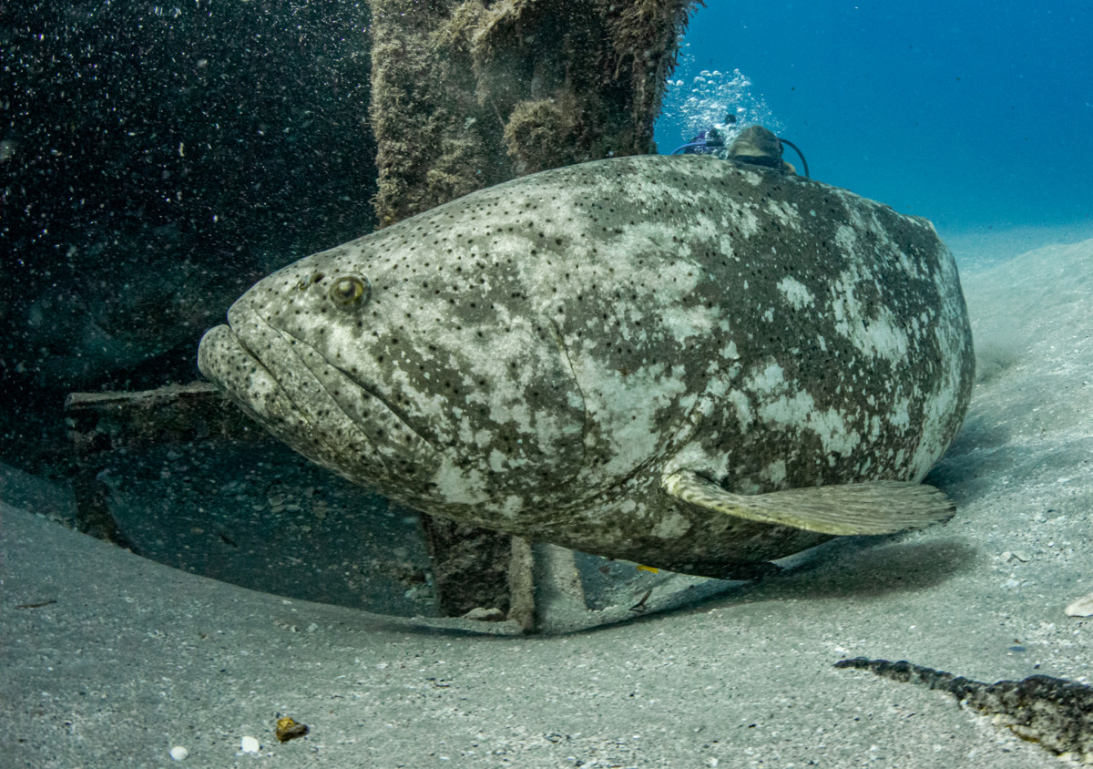 The preferred diet of goliath grouper consists of crabs, but they will take hooked fish off a line when theopportunity presents itself.