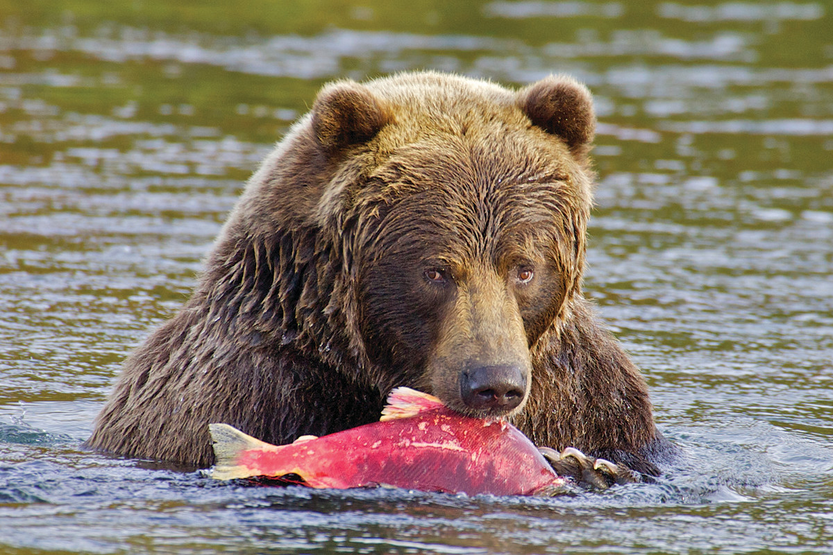 Wildlife and humans alike rely on Bristol Bay watershed salmon runs.