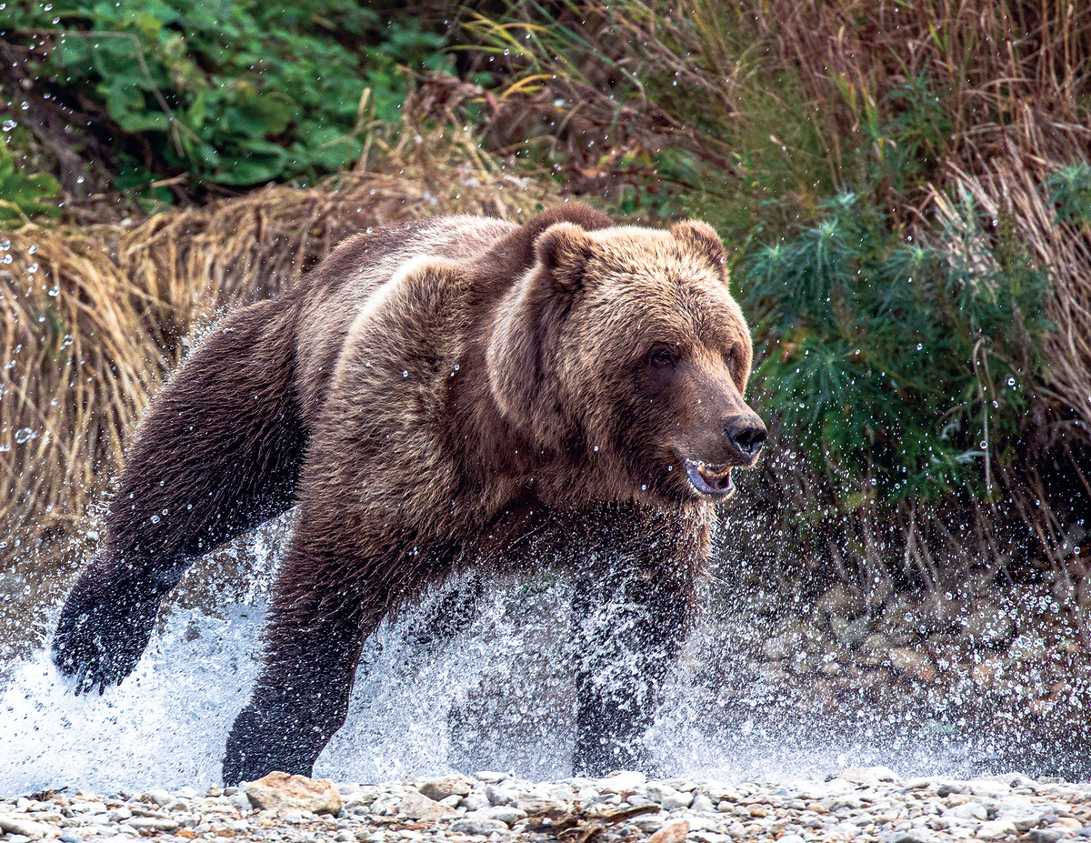 You are virtually guaranteed to come out on the losing end if you think you can outrun a grizzly.