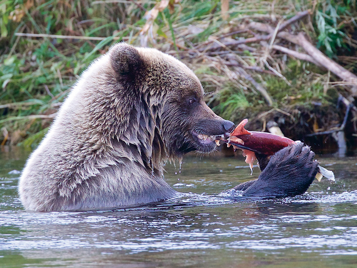 At various times, sockeye are a main source of food on certain rivers.