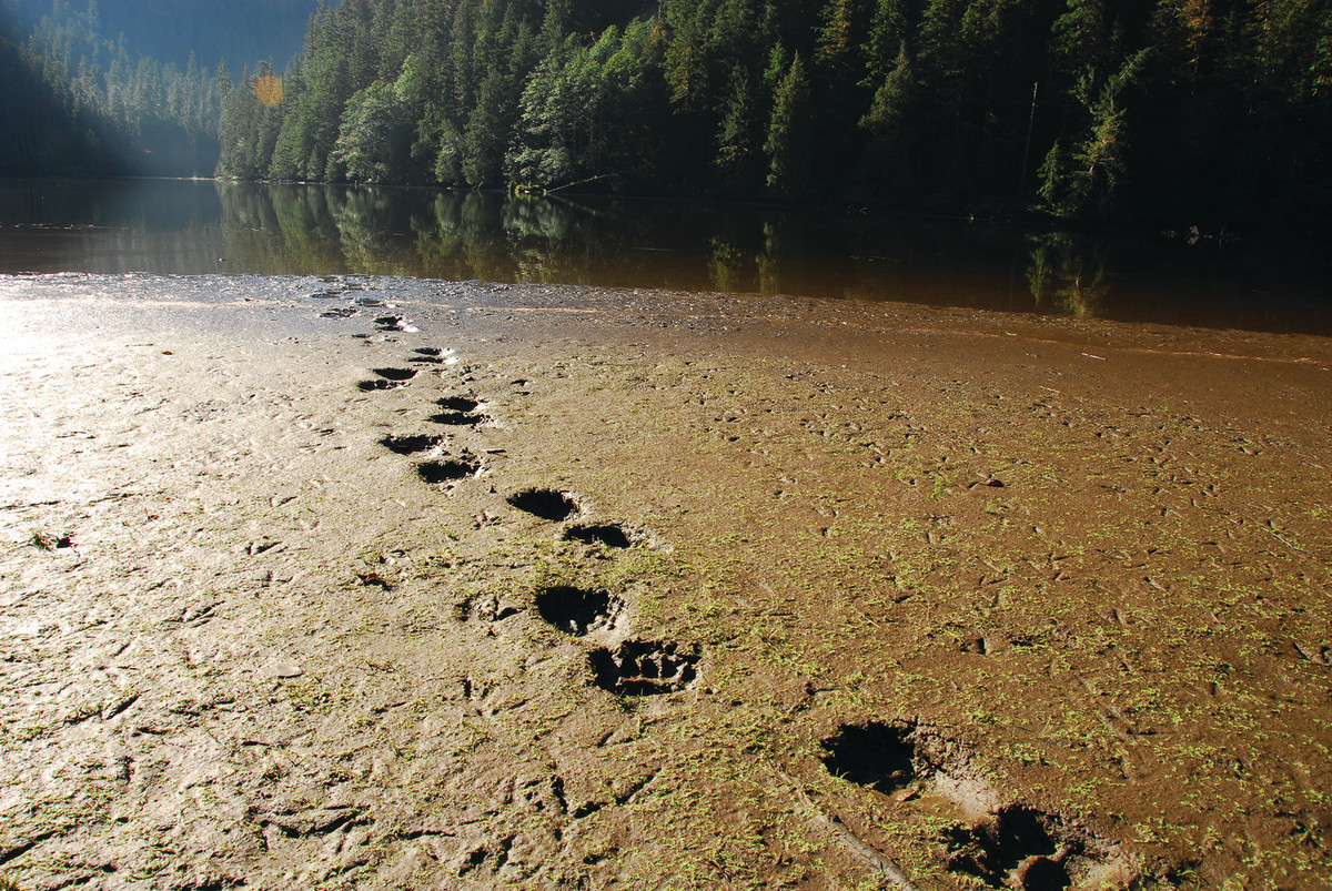 The writer often sees more bear tracks and other signs than actual bears.
