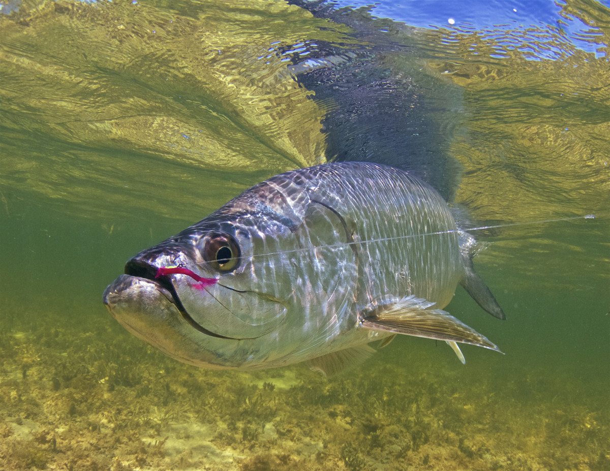 A tarpon that fell for a worm fly.