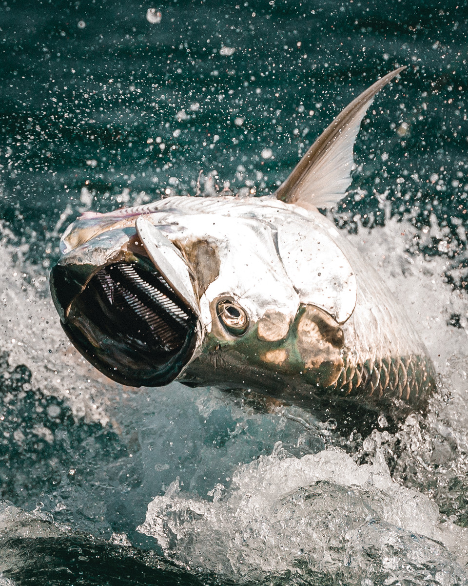 The acrobatics begin once a tarpon realizes it's hooked.