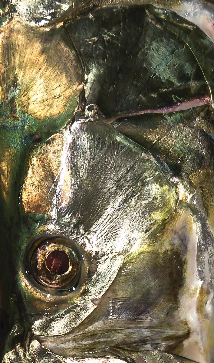 A tarpon's iridescencesoftens its prehistoric profile.