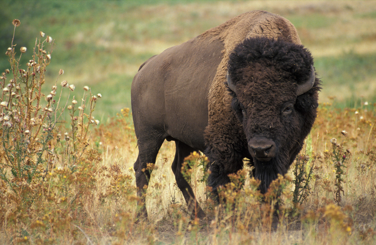 Bison are just one part of the wild Yellowstone landscape.