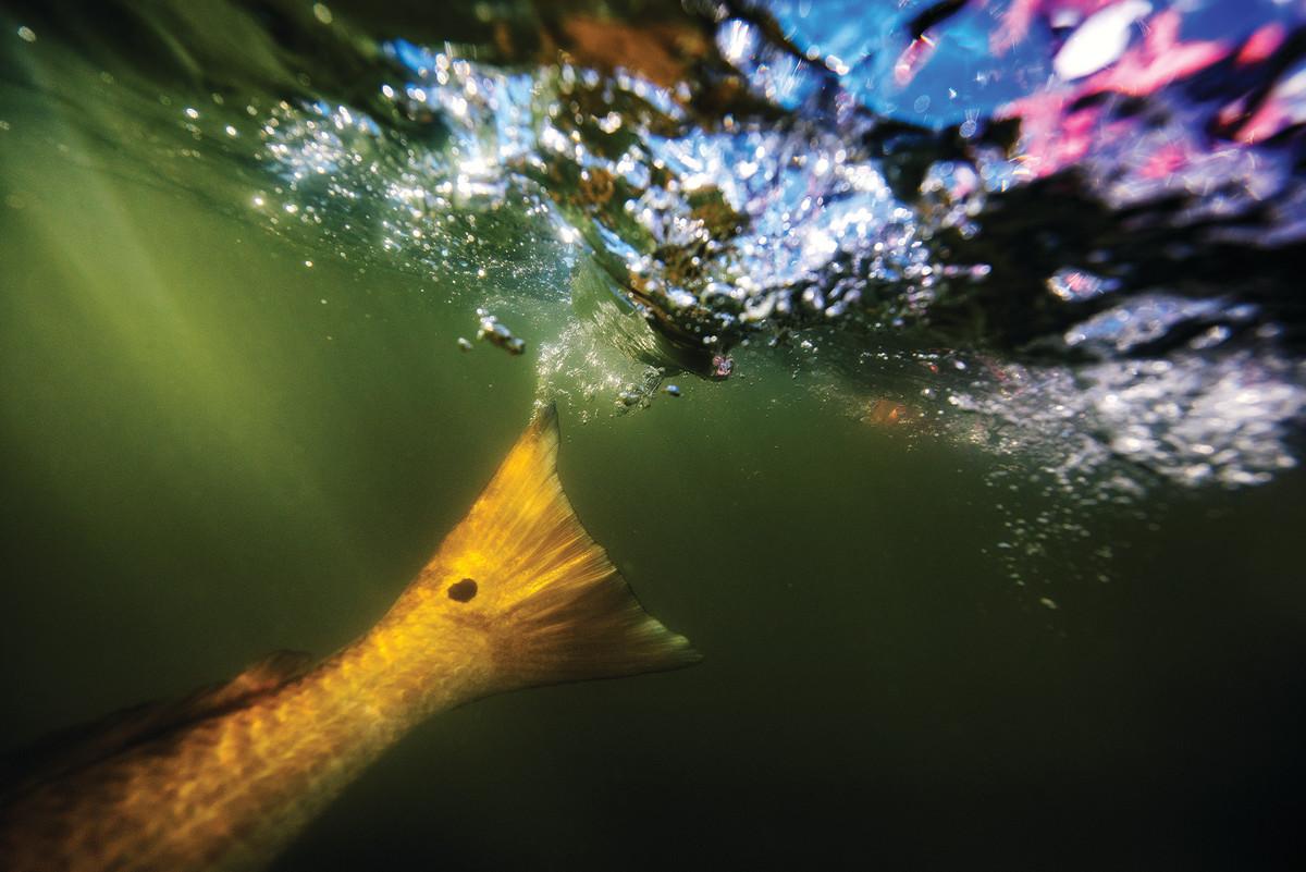 Redfish haunt the numerous bayous and grass island edges along the Louisiana coast.
