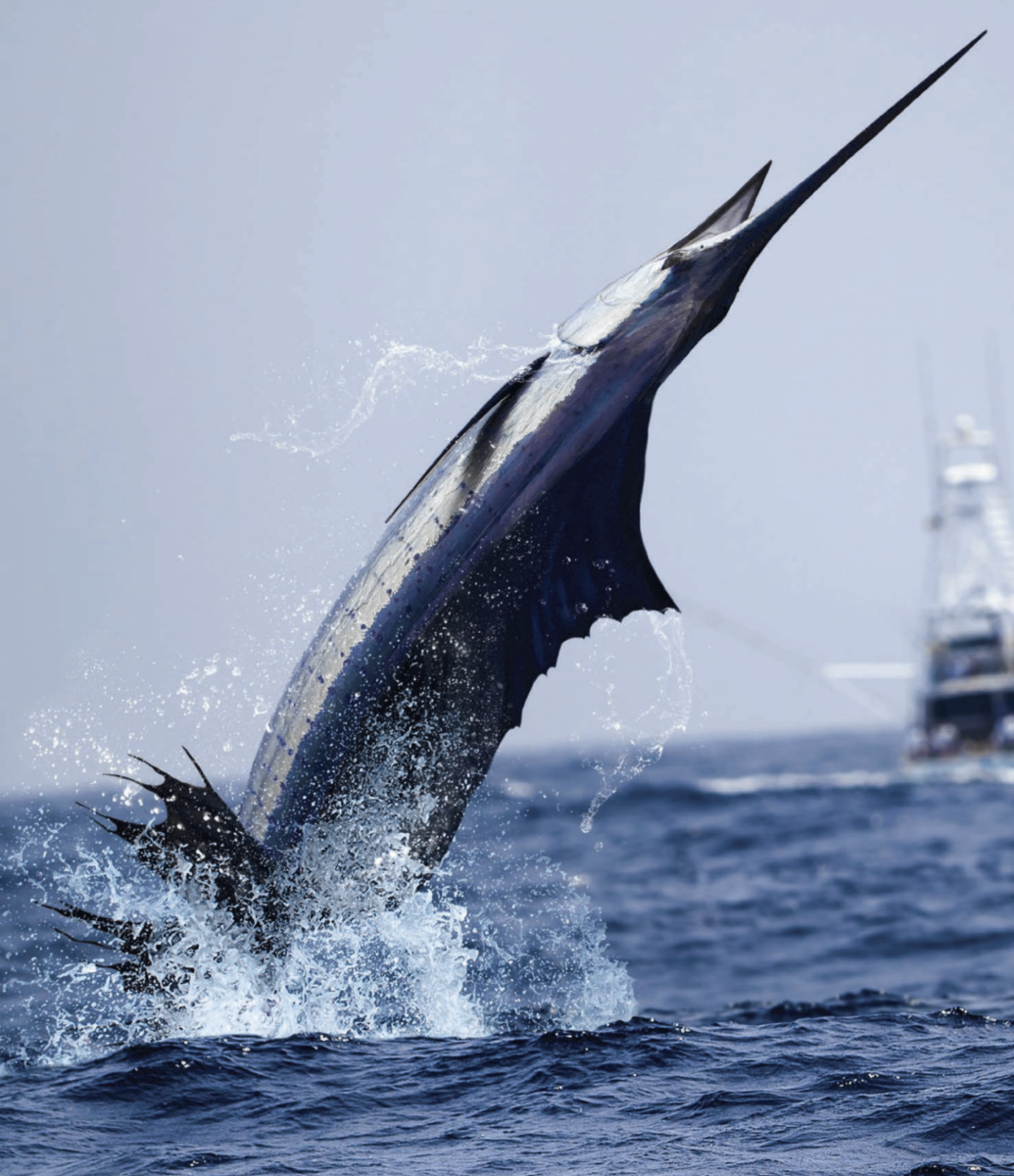 The best things about sailfish are their beauty, accessibility and tendency to jump.